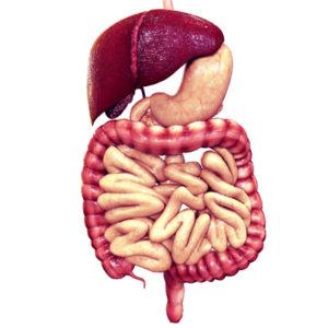 Die Abbildung des menschlichen Verdauungssystems